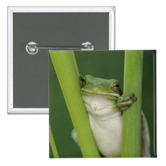 Green Treefrog, Hyla cinerea, adult, Lake 2 Inch Square Button