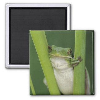 Green Treefrog, Hyla cinerea, adult, Lake 2 Inch Square Magnet