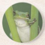 Green Treefrog, Hyla cinerea, adult, Lake Drink Coaster
