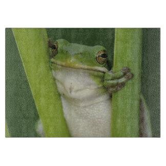 Green Treefrog, Hyla cinerea, adult, Lake Cutting Board