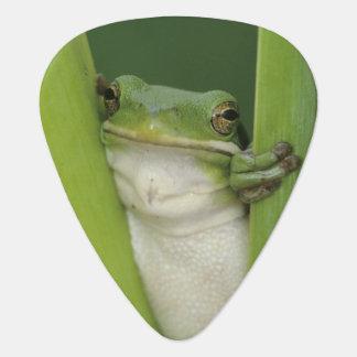 Green Treefrog, Hyla cinerea, adult, Lake Guitar Pick