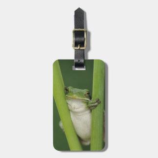 Green Treefrog, Hyla cinerea, adult, Lake Luggage Tag