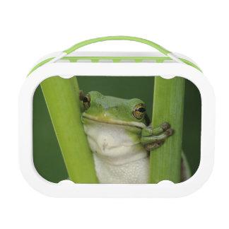 Green Treefrog, Hyla cinerea, adult, Lake Lunch Box
