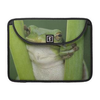 Green Treefrog, Hyla cinerea, adult, Lake Sleeves For MacBook Pro