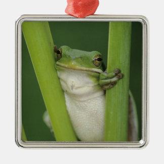 Green Treefrog, Hyla cinerea, adult, Lake Metal Ornament