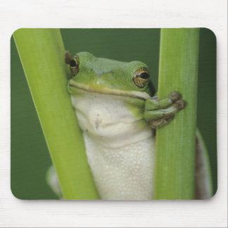 Green Treefrog, Hyla cinerea, adult, Lake Mouse Pad
