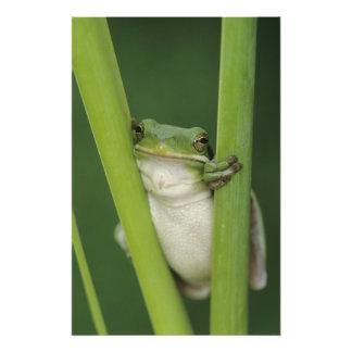 Green Treefrog, Hyla cinerea, adult, Lake Photo Print