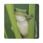Green Treefrog, Hyla cinerea, adult, Lake Puzzle Coaster