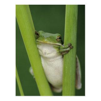 Green Treefrog, Hyla cinerea, adult, Lake Postcard