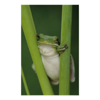 Green Treefrog, Hyla cinerea, adult, Lake Poster