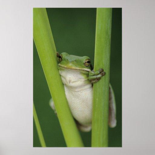 Green Treefrog, Hyla cinerea, adult, Lake Print