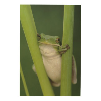 Green Treefrog, Hyla cinerea, adult, Lake Wood Print