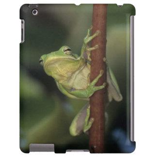 Green Treefrog, Hyla cinerea, adult on yellow