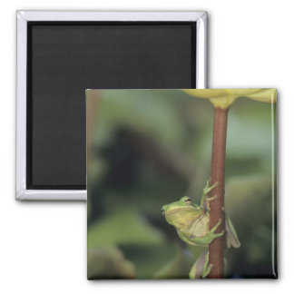 Green Treefrog, Hyla cinerea, adult on yellow 2 Inch Square Magnet