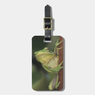 Green Treefrog, Hyla cinerea, adult on yellow Bag Tag
