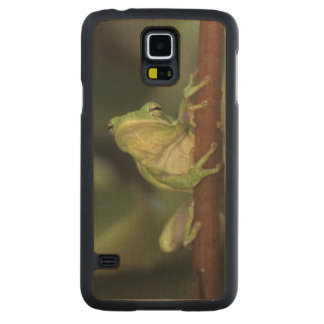 Green Treefrog, Hyla cinerea, adult on yellow Carved Maple Galaxy S5 Slim Case