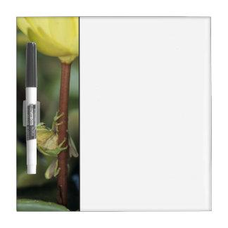 Green Treefrog, Hyla cinerea, adult on yellow Dry Erase Board
