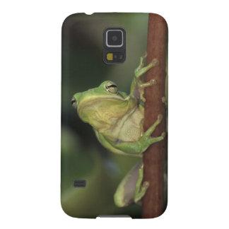 Green Treefrog, Hyla cinerea, adult on yellow Galaxy S5 Case