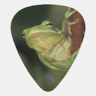Green Treefrog, Hyla cinerea, adult on yellow Guitar Pick
