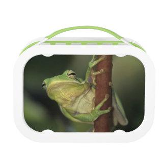 Green Treefrog, Hyla cinerea, adult on yellow Lunch Box