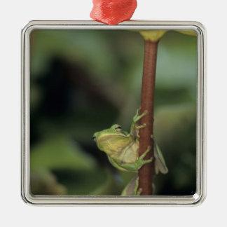 Green Treefrog, Hyla cinerea, adult on yellow Metal Ornament