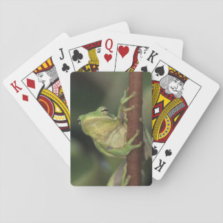 Green Treefrog, Hyla cinerea, adult on yellow Playing Cards