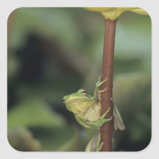 Green Treefrog, Hyla cinerea, adult on yellow Square Sticker