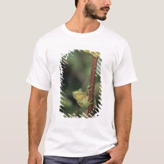 Green Treefrog, Hyla cinerea, adult on yellow T-Shirt