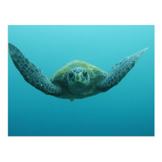 Green Turtle (Chelonia mydas agassisi), Central Postcard
