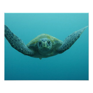 Green Turtle (Chelonia mydas agassisi), Central Poster