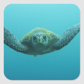 Green Turtle (Chelonia mydas agassisi), Central Square Stickers
