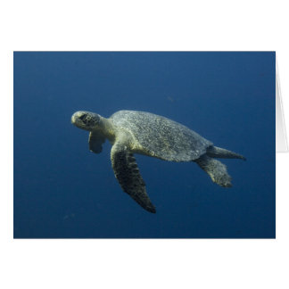 Green Turtle (Chelonia mydas agassisi) off Wolf Card