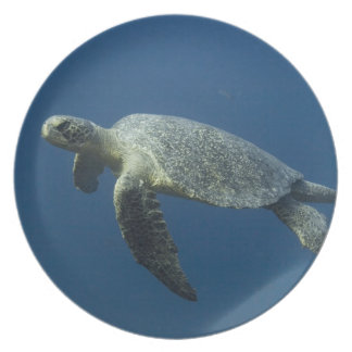 Green Turtle (Chelonia mydas agassisi) off Wolf Melamine Plate