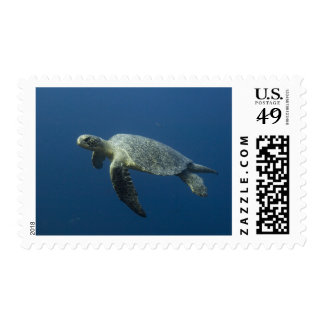 Green Turtle (Chelonia mydas agassisi) off Wolf Postage