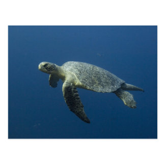 Green Turtle (Chelonia mydas agassisi) off Wolf Postcard