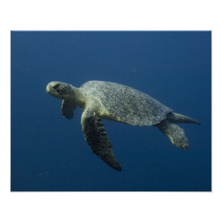 Green Turtle (Chelonia mydas agassisi) off Wolf Poster
