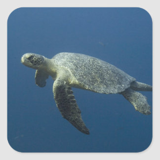 Green Turtle (Chelonia mydas agassisi) off Wolf Square Sticker