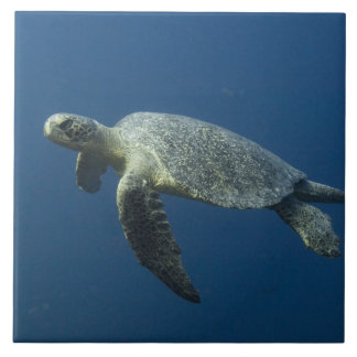 Green Turtle (Chelonia mydas agassisi) off Wolf Large Square Tile