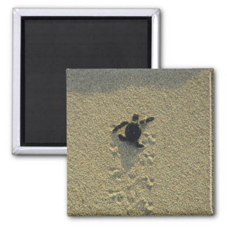 Green Turtle, (Chelonia mydas), hatchling 2 Inch Square Magnet
