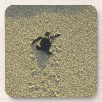 Green Turtle, (Chelonia mydas), hatchling Coaster