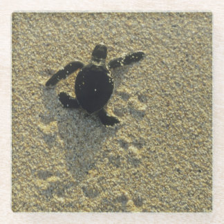 Green Turtle, (Chelonia mydas), hatchling Glass Coaster