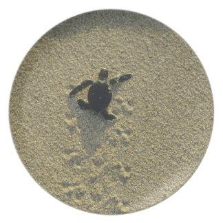 Green Turtle, (Chelonia mydas), hatchling Melamine Plate