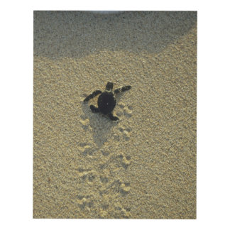 Green Turtle, (Chelonia mydas), hatchling Panel Wall Art