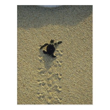 Toddler & Baby themed Green Turtle, (Chelonia mydas), hatchling Postcard
