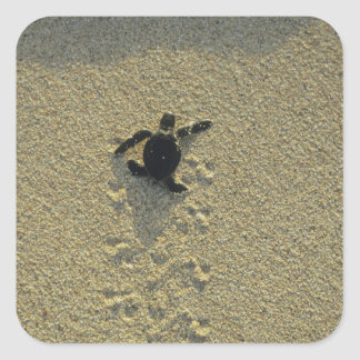 Green Turtle, (Chelonia mydas), hatchling Square Sticker