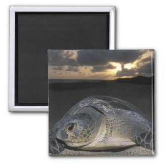 Green Turtle, (Chelonia mydas) nesting female on 2 Inch Square Magnet