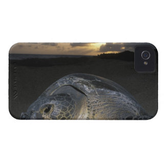 Green Turtle, (Chelonia mydas) nesting female on iPhone 4 Cases