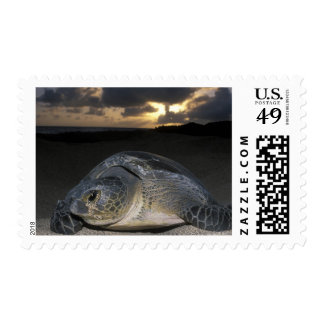 Green Turtle, (Chelonia mydas) nesting female on Postage