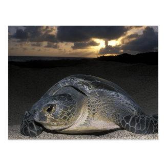 Green Turtle, (Chelonia mydas) nesting female on Postcard