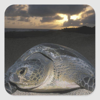 Green Turtle, (Chelonia mydas) nesting female on Square Sticker